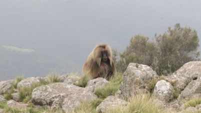 Gelada Baboons-002