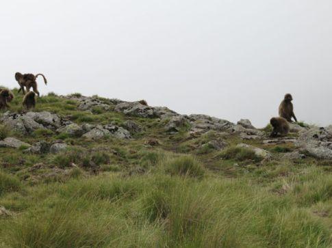Gelada Baboons-003
