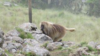 Gelada Baboons-005