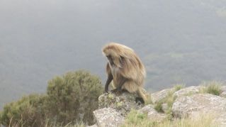 Gelada Baboons-006