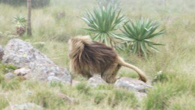 Gelada Baboons-007