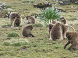 Gelada Baboons-008