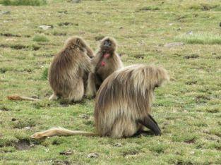 Gelada Baboons-009