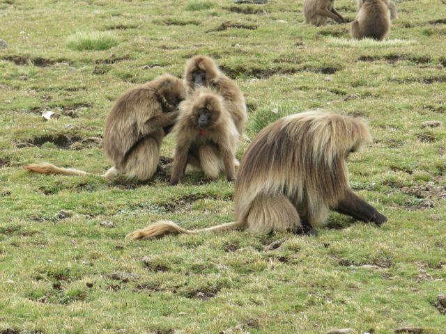 Gelada Baboons-012