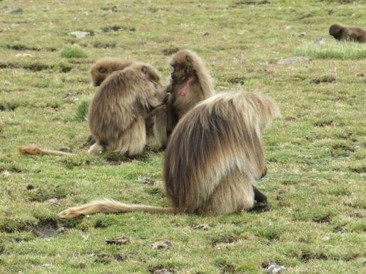 Gelada Baboons-013