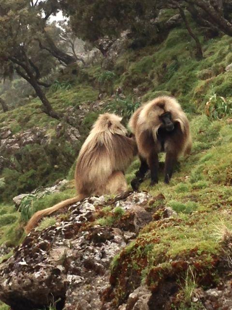 Gelada Baboons-016